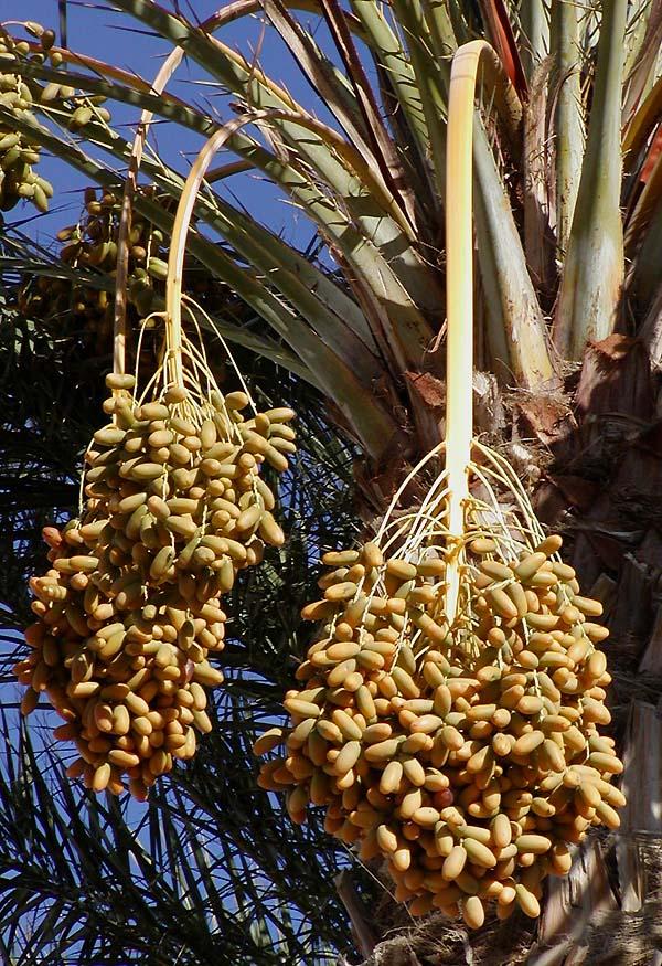Dattel Püttner Früchte Palmen GL II 058 Ernte bei Elche von R